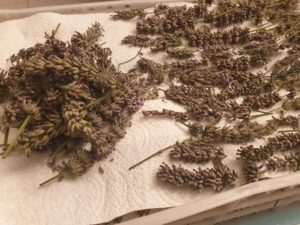 Arranging lavender heads in straight lines for drying